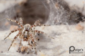 A Funnel Weaver Spider, family Agelenidae. Image by Paige Brown